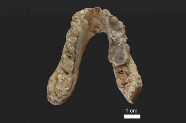 Долна Челюст на грекопитек от преди 7,175 млн. години, открита в Гърция