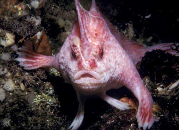 Розова риба с ръце