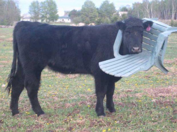 Съдейки по увереността, с която тази крава позира, това явно не е грешка, а модна тенденция