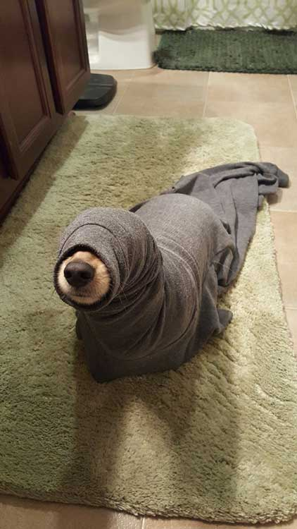 Може да си мислиш, че това е куче, заседнало в ръкав. Но не! Това е домашен тюлен