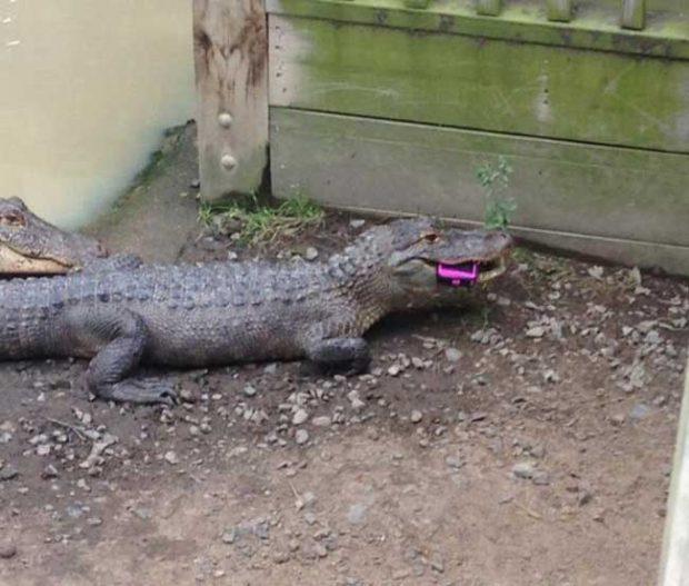 С една позната бяхме на зоологическа градина. Тя си изтърва телефона при крокодила. Вече не си го иска...