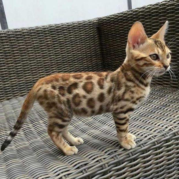 Само погледни тази прекрасна бенгалска котка