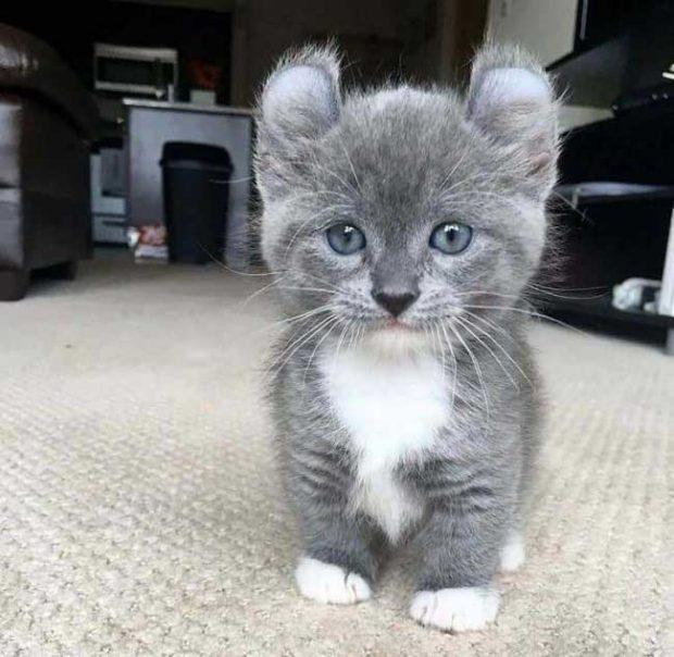 Коте с много забавни извити уши