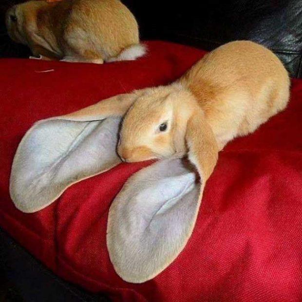 Природата е дала на този заек невероятно дълги уши