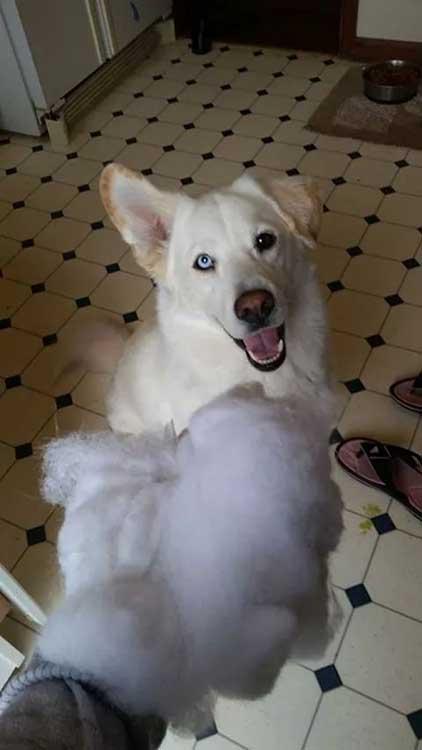 """""""Кучето на един мой приятел. Наполовина хъски, наполовина лабрадор"""""""