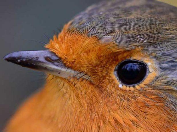 Червеногръдките имат миниатюрни перца около очите