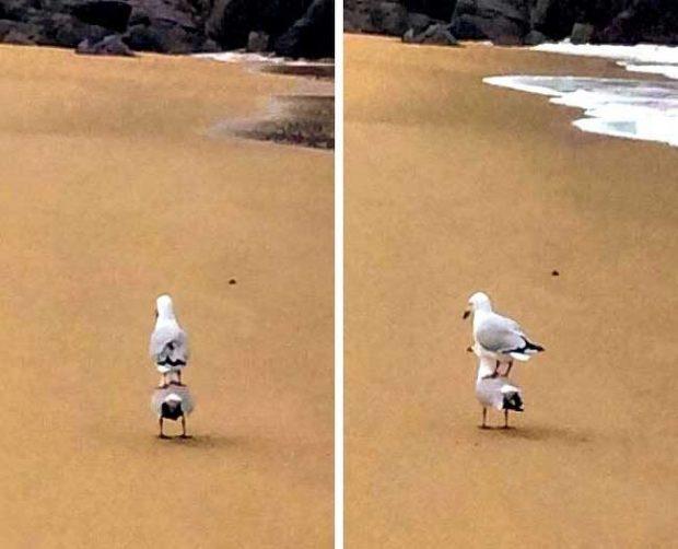Просто една чайка, която язди друга. Нищо необичайно
