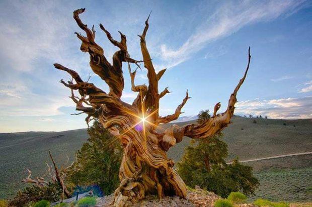Зашеметяваща снимка на най-старото дърво в света