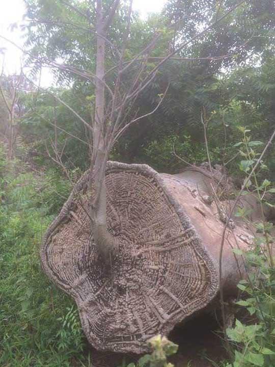 Дърво Баобаб израства отново от собствените си останки