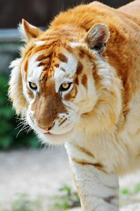 """Това е изключително редкият """"златен"""" тигър. Предполага се, че съществуват само 30 представители на този вид"""