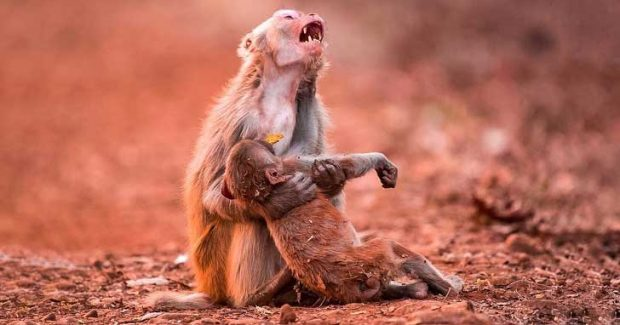 Тази маймуна държи малкото си, точно след като е паднало от дървото