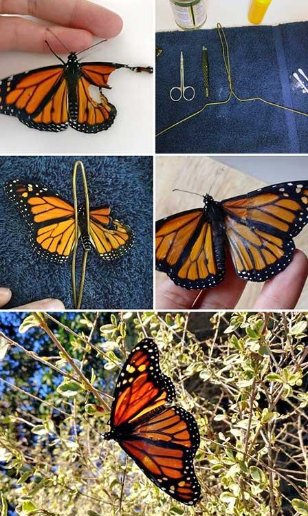 Трансплантация на крило на пеперуда монарх