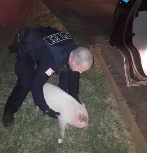 Полицейско преследване с прасе
