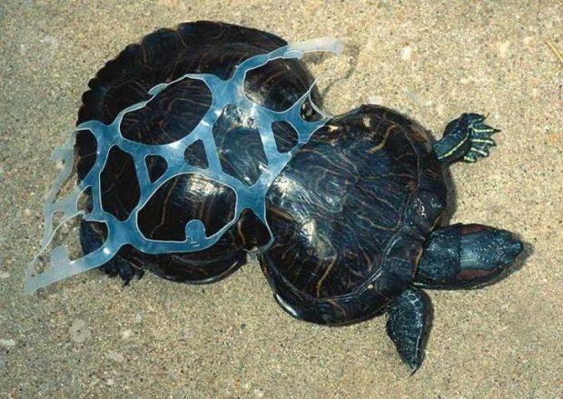 Тази млада костенурка е заклещена в парче пластмаса