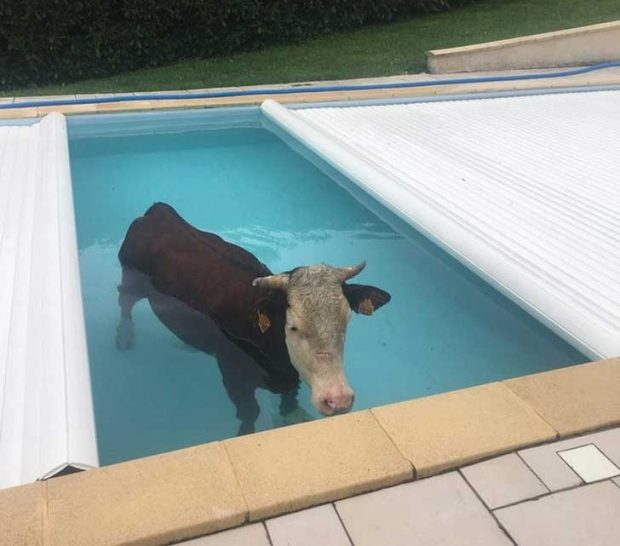 """Не очаквах да намеря крава в басейна..."""