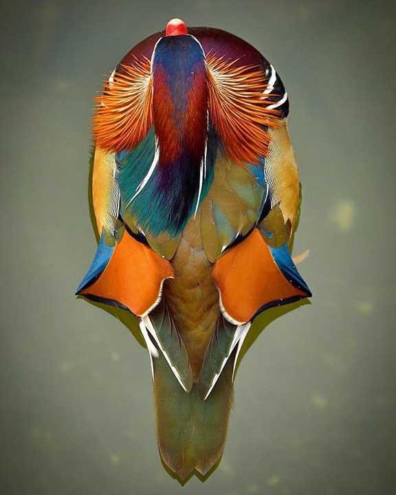 Мандаринова патица, погледната отгоре