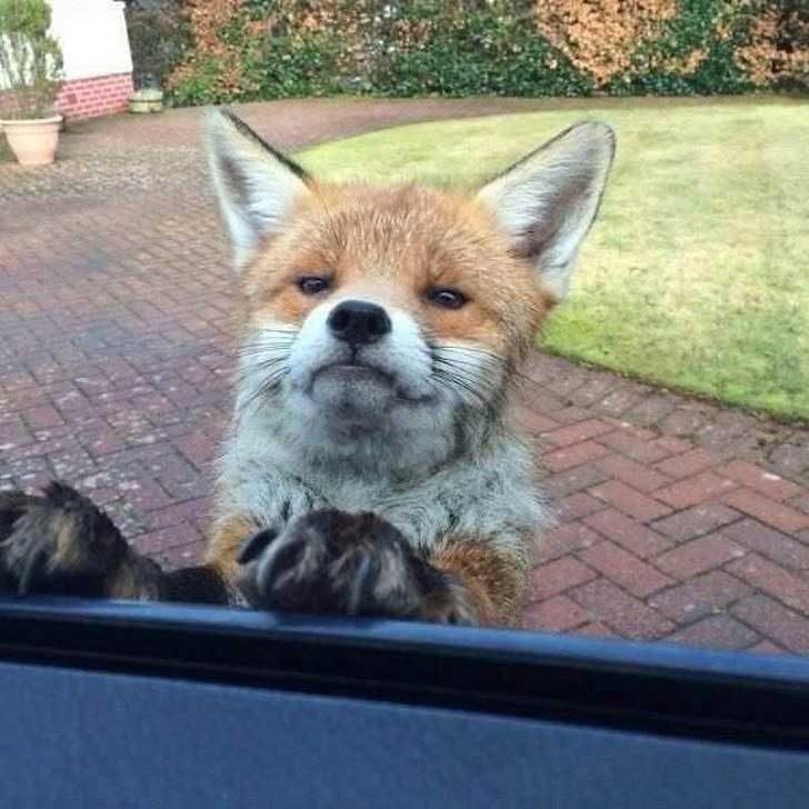 Тази лисичка не е доволна, защото ти не се усмихваш
