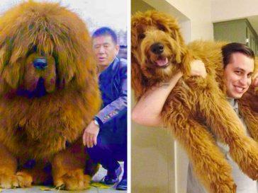 28 огромни кучета, които не осъзнават колко са големи