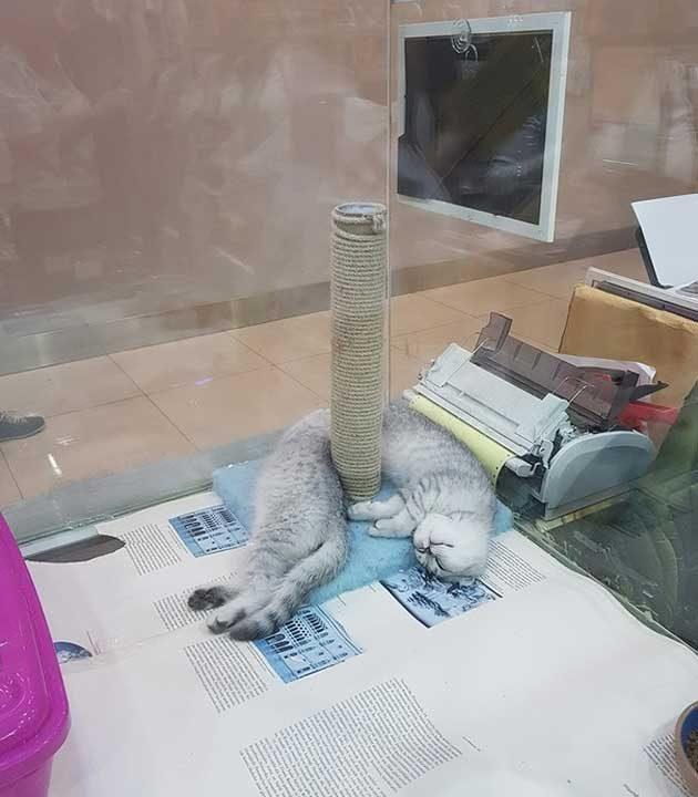 Тази необичайно дълга котка всъщност е съставена от две по-малки, които си подремват в магазин за домашни любимци