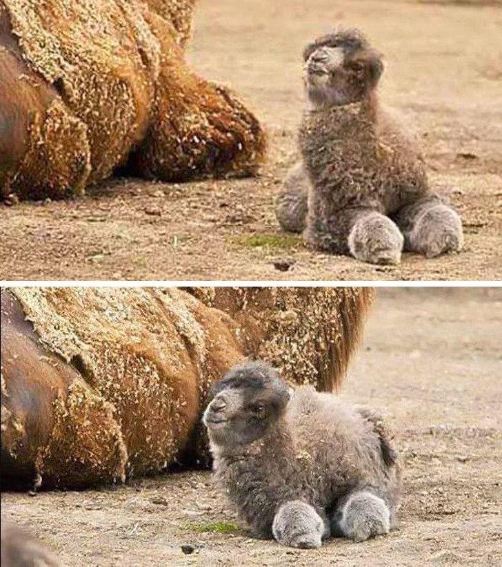 Знаеше ли, че бебетата камили са толкова очарователни?