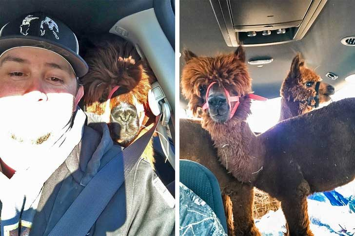 """""""Брат ми реши да изненада жена си с тези две алпаки"""""""