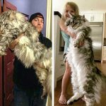 21 гигантски котки Мейн Куун, които ще ти покажат кой е шефът