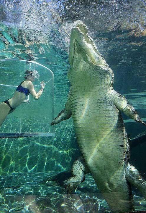 Смразяващият размер на този соленоводен крокодил