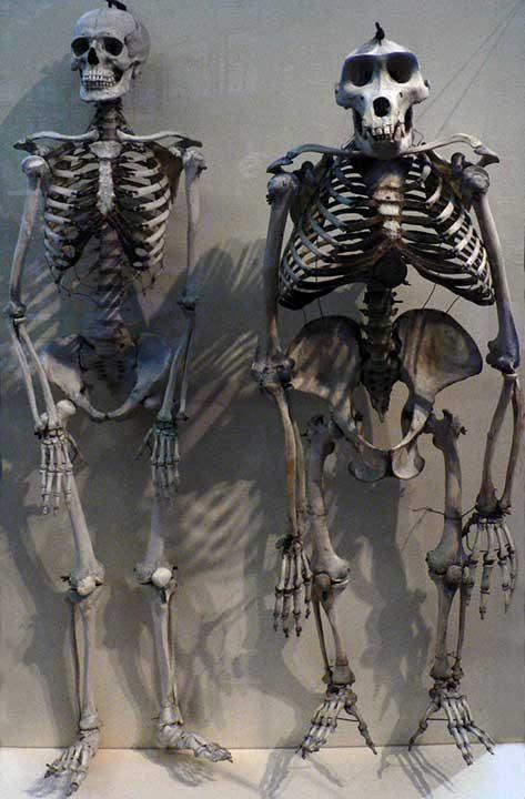 Това е скелет на човек, сравнен със скелет на горила