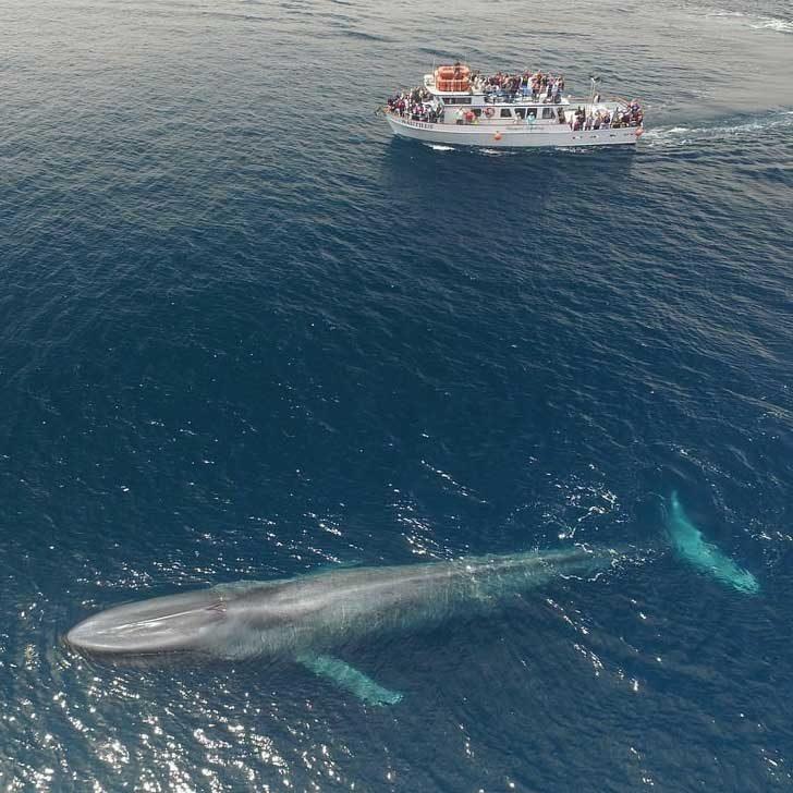 Най-голямото животно на Земята - син кит, сниман до немалък туристически кораб
