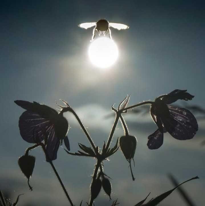 """Земна пчела """"носеща"""" Слънцето"""