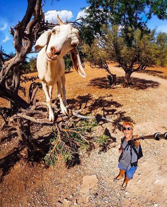 Сега осъзнаваме, че селфи стиковете са изключително важни, когато искаш да снимаш коза, покатерила се на дърво