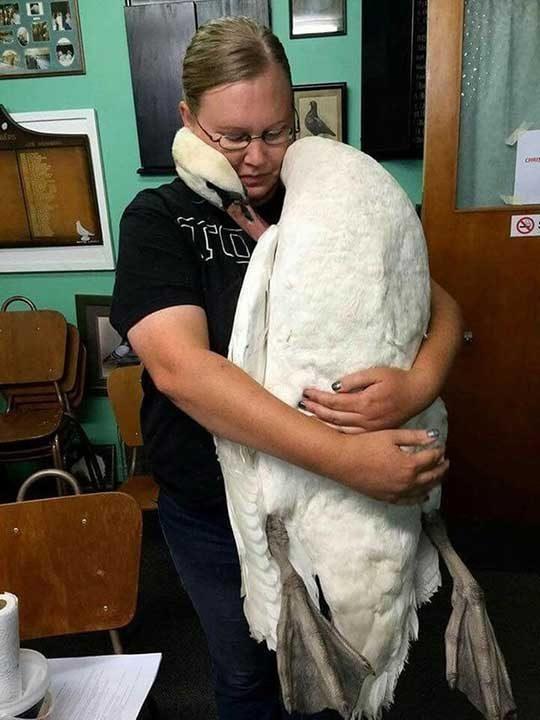 Този лебед дава на стопанката си прегръдка с любов