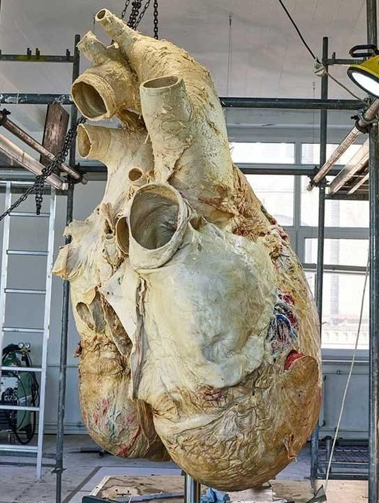 Това е истинско сърце от син кит