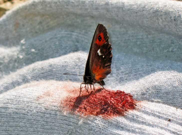Когато могат, пеперудите пият кръв