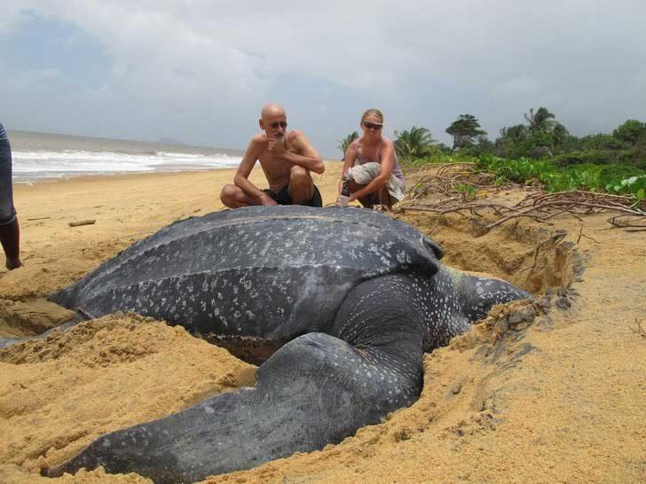 Океаните и моретата крият толкова много чудеса. Точно като тази огромна кожеста костенурка
