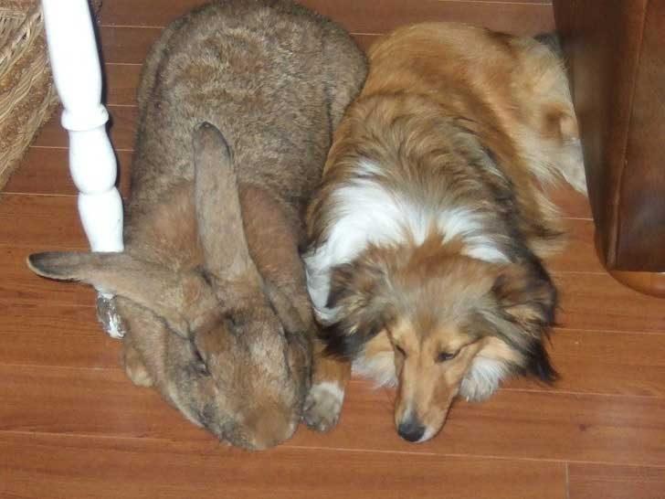 Този заек от порода Белгийски великан може спокойно да си играе с кучето