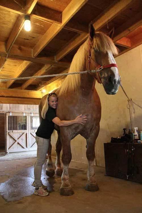 Биг Джейк е Белгийски кастрат и той счупи световния рекорд на Гинес за най-висок кон