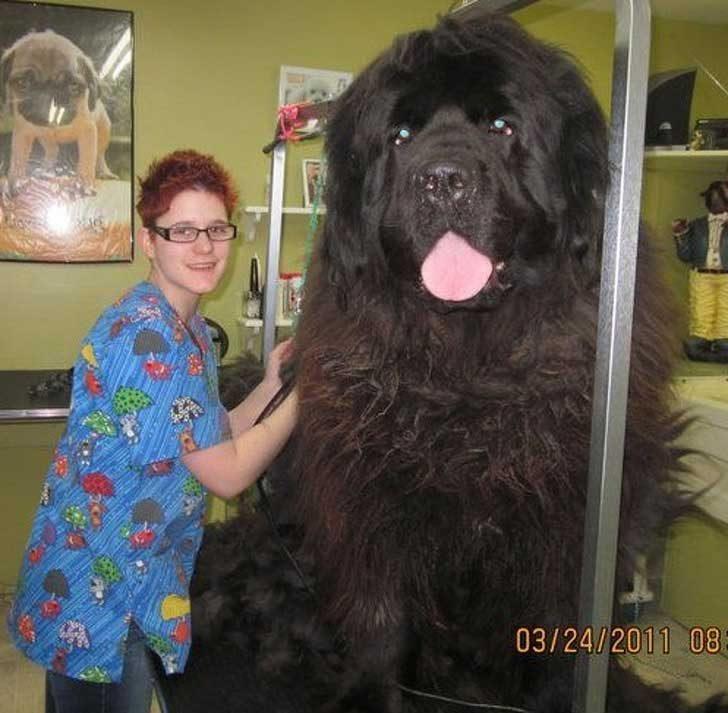 Това е мечка! Това е мамут! Не, това е гигантско куче!