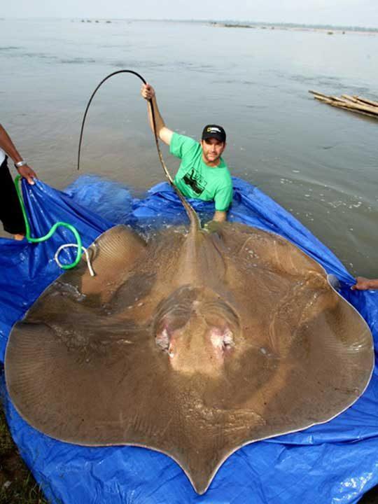 Този огромен скат изглежда почти като гигантска палачинка