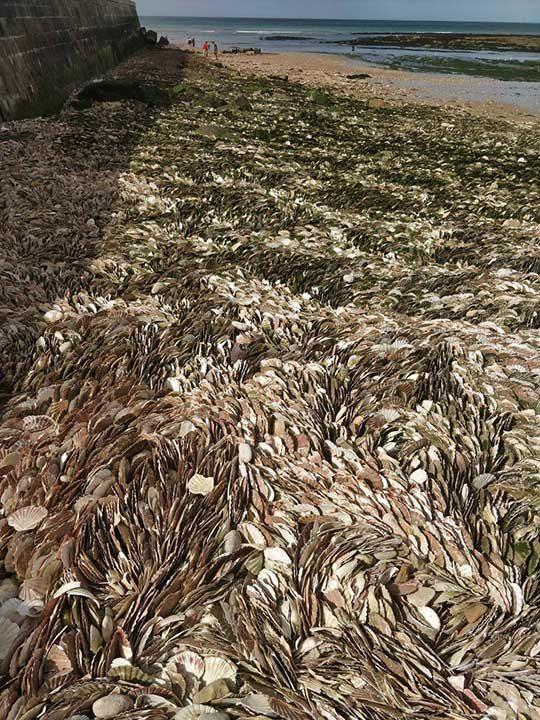 Тези черупки от миди, струпани на плажа, приличат на трева огъвана от вятъра
