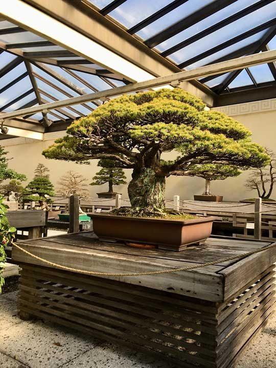 400-годишно дръвче Бонсай, което е преживяло бомбардировката над Хирошима