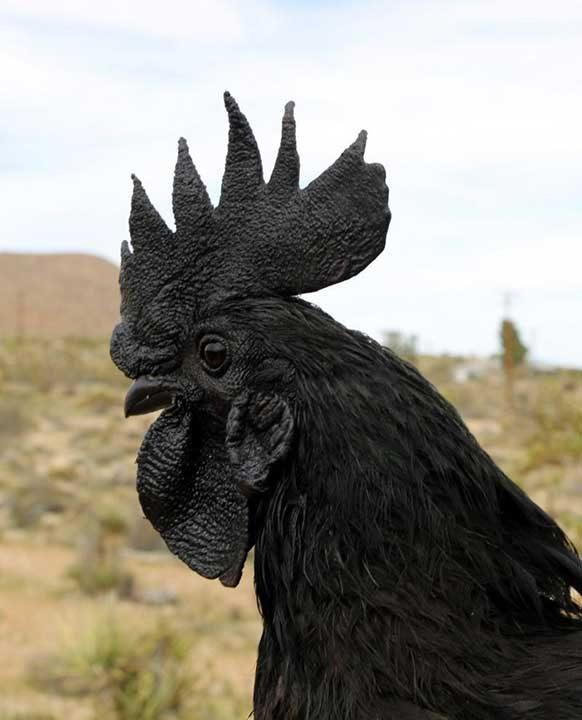 Кокошките Аям Кемани са изцяло черни, дори и техните кости и вътрешни органи