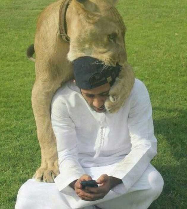 Този лъв си търси внимание от своя собственик, също като всяка домашна котка