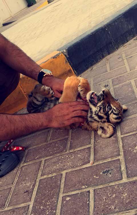 А тигрите са просто домашни любимци