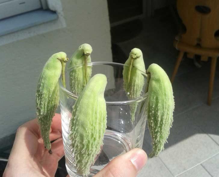 Тези шушулки приличат на цяло семейство папагали!