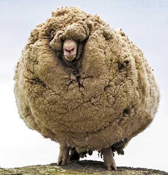 Овца, която не е подстригвана в продължение на 6 години