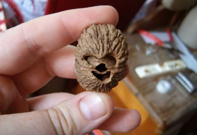 Това е просто един обикновен орех, който изглежда като Чобака