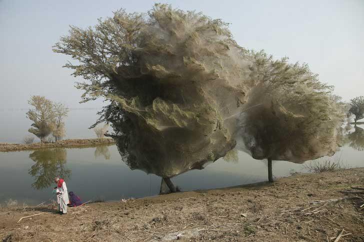 Тези дървета са целите обвити в паяжини