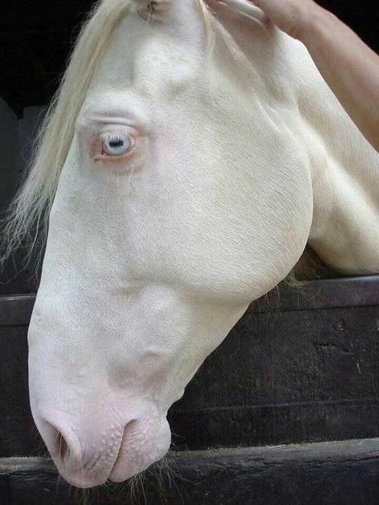 Кон албинос