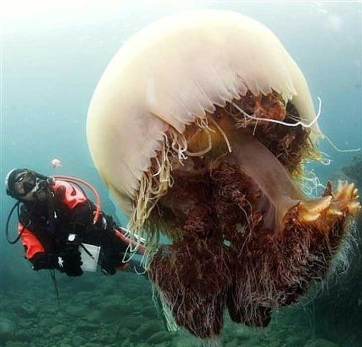 Медузата номура е една от най-големите на света. Размерът на напълно развит индивид надхвърля средния човешки ръст